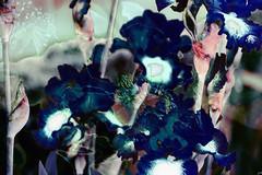 Lros azules (seguicollar) Tags: flores flower art plantas flor artedigital vegetal jardn vegetacin jardnbotnico azules artdec virginiasegu