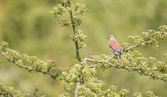 Linotte mlodieuse (loudz57220) Tags: bird nature animals canon wildlife tamron oiseau 70d commonlinnet linottemlodieuse 150600 linariacannabina