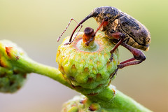 Curculio (johnhallmen) Tags: macro insect beetle weevil coleoptera curculionidae canonmpe65 zerenestacker sonynex7