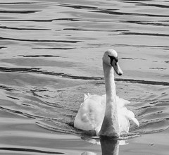 Swan (tubblesnap) Tags: bw white black canal swan fuji adobe gliding lightroom xs1
