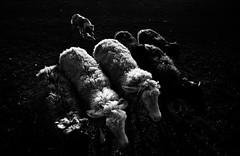 Border Collie at WORK (Alicja Zmysowska) Tags: sunset summer blackandwhite dog pet pets white black dogs blackwhite collie sheep sheepdog border herding rimlight