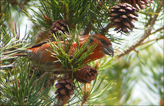 Scottish Crossbill (McRusty) Tags: wild tree male bird pine scotland bill estate cone beak like scottish parrot highland dell rare scots rosy reddish plumage crossbill loxia stratherrick scotica