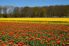Dutch Spring (romanboed) Tags: leica flowers blue trees sky holland netherlands dutch field yellow landscape countryside spring tulips farm sunny m agriculture 50 summilux 240