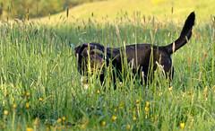 rounder... (joachim.d.) Tags: dog duke hund hunter gras jger rounder stromer stromern