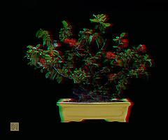 ana6.0 utamaro 5-13-16 virtual_Panorama1 (fredtruck) Tags: flowers red yellow pot flowering quince
