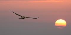 of the sun coming (hardy-gjK) Tags: sun birds animals sunrise fly nikon long eagle superb wildlife ngc raptor falcon simply length sonne sonnenaufgang kestrel focal greifvogel nikor teleobjektiv nikonflickraward