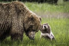 Back to Nature Photography (Keira Morgan) Tags: alaska photography wildlife naturephotography grizzlybear grizzlycub backtonaturephotography