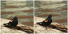 Red-winged in two movements (V and the Bats) Tags: bird animal fauna wisconsin bicycling waukesha foxriver agelaiusphoeniceus bytheriver foxrivertrail cubanredwingedbrackbird