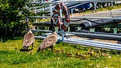 Canadian invasion (Prince Bart) Tags: newengland eos ferries 7dmarkii newlondon canadagoose birds canon connecticut ct anseriformes brantacanadensis