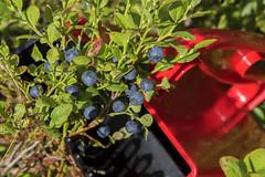 Blueberries (Ingunn Eriksen) Tags: blueberry berry vestby akershus norway