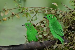Glistening Green Tanagers, Chlorochrysa phoenicotis