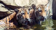 Tiger Twins (jhambright52) Tags: sumatrantigercub sumatrantiger twotwinsumatrancubs