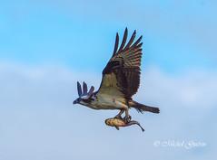 Balbuzard pcheur - Osprey (MichelGurin) Tags: ca  ontario canada nature animal nikon exterior extrieur oiseau osprey pandionhaliaetus iroquois 2016 southdundas balbuzardpcheur michelgurin lightoomcc nikon200500mm