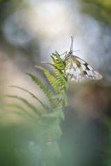 Desperezandose (too15) Tags: light summer insectos macro spain nikon bokeh butterflies galicia tamron mariposas ourense valdeorras melanargia