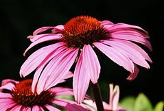 Flower (Hugo von Schreck) Tags: hugovonschreck flower blume blte macro makro purpursonnenhut echinaceapurpurea canoneos5dsr tamron28300mmf3563divcpzda010 outdoor onlythebestofnature givemefive