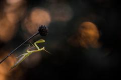 Dernires lueurs du soir (Pito-pito) Tags: mantereligieuse mantis mantisreligiosa mante insecte bug animal animaux wild wildlife alpesmaritimes alpes nature nikon nikond750 nikkor nikon105vr macro kenko bokeh lumire light bright dof profondeurdechamp