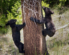 Black Bear Cubs (grimeshome) Tags: bears bear cub cubs blackbear yellowstone yellowstonenationalpark trees treeclimbing climbingtree blackbearcubs nature wilderness wildlife nationalpark