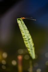 On stage! (lakeside_cat) Tags: bug damselfly orange   dragonfly   nikon d4s nikond4s