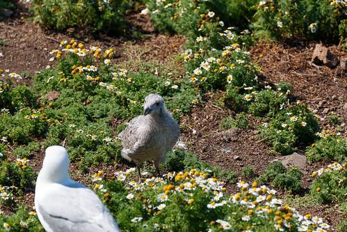 Goélands argentés (Larus argentatus)