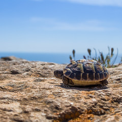 Landschildkrte auf Mallorca 2 [EXPLORE 12.09.2016] (ma_boehm) Tags: schildkrte mallorca tier landescape animal turtle bluesky natur nature