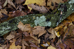 D81_6388 (violetflm) Tags: d810 fall october tree il native glenview harmswoods lichen leaves