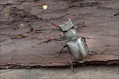 Lucanus-cervus_2 (amadej2008) Tags: taxonomy:binomial=lucanuscervus stagbeetle hirschkfer roga kleman lucanuscervus stag beetle rogai klemani lucanus cervus