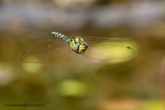 Southern Hawker (m) (ABPhotosUK) Tags: animals anisoptera canon dartmoor devon dragonflies ef100400mmisii eos7dmarkii garden invertebrates odonata pond southernhawker wildlife inflight aeshna cyanea