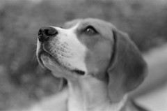 Grace (Novanto) Tags: novanto film asahipentaxspotmaticsp takumar 50mm bokeh blackwhite dog beagle ilford ilfordfp4plus