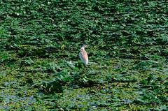 Romania : Bird in a sea of green (lown_c) Tags: romania danube delta vsco nikon d7000 digital bird green lilly pads