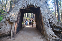 Tuolumne Grove (malinowy) Tags: tuolumne grove giant sequoias malinowy malinowynet nikon d7000 nikkor 1870 usa unitedstates unitedstatesofamerica us america california summer ca yosemite nationalpark yosemitenationalpark np park hike hiking trip roadtrip