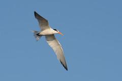 Elegant Tern (linda m bell) Tags: bolsachica ecologicalreserve 2016 california wetlands socal birds birdwatching eleganttern