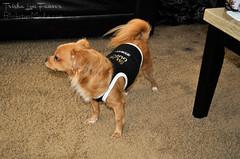 Mia01 (TrishaLyn) Tags: dogs animals pomeranian chihuahua pomchi pets