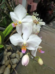 autumn orchids 4 (BarryFackler) Tags: orchid plant flora petals flowers botany gardening outdoor vegetation blooms blossoms life garden home yard horticulture leaves colorful creature tropical captaincookhawaii floral beauty westhawaii cookslanding ecology island kona nature captaincook hawaii bigisland sandwichislands polynesia horticultural ornamentalplant hawaiicounty southkona 2016 barryfackler barronfackler hawaiianislands hawaiiisland captaincookhi organism biology