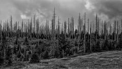 Stumme Zeugen / a dumb witness (ludwigrudolf232) Tags: wald bayern nationalpark baumsterben einfarbig