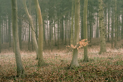 Modesty (jellyfire) Tags: forest landscape landscapephotography sonnartfe55mmf18za sony sonya7r suffolk winter woodland atmospheric branches broadleaf copse deciduous ecology fog green growth knettishallheath leaves leeacaster life mist spring suffolkwildlifetrust trees trunk woods wwwleeacastercom zeiss
