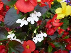 Flowers Galore ! (Mara 1) Tags: gladioli summer tall petals peach outdoors flowers