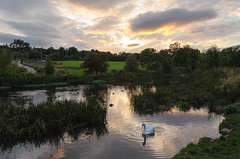 Lone Swan - DSC_0263 (John Hickey - fotosbyjohnh) Tags: 2016 cabinteely september2016 dunlaoghairerathdowncouncil dublin pond manmadelake lake nature autumn cloudysunset swan ripples outdoor evening