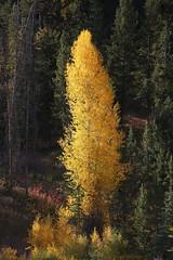 Dissenting tree (Maurits van den Toorn) Tags: boom baum tree herfst autmun fall indiansummer grandteton wood forest bos wald usa vs landschap landscape