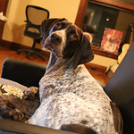 The Dog,Pacer - German Shorthaired Pointer thumbnail