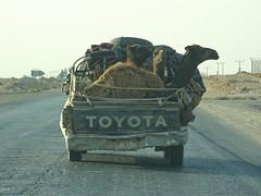Jordan '16 (faun070) Tags: jordan camels
