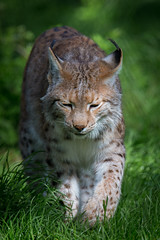 Lynx (c) (christianweber2405) Tags: wild color nature animal canon germany deutschland zoo outdoor c natur lynx tier 2015