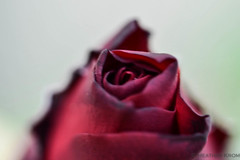 Roses (H Krom) Tags: flowers roses macro nature oregon spring nikon d750 mothernature springflowers blooming naturephotography pacificnw macrophotography cityofroses flowerphotography brightandbeautiful nikonphotography