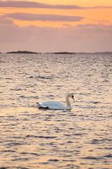 Sunset Swan (Arvid Björkqvist) Tags: ocean sunset sea orange bird water clouds evening swan purple sweden svan sillvik torslanda canon6d