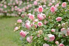 "rose, ""Pierre de Ronsard"" (snowshoe hare*) Tags: pink flowers rose botanicalgarden  pierrederonsard dsc0616"