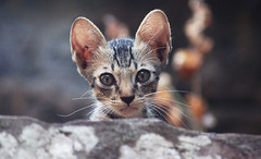 Ready For Cute Overkill? (Coquine!) Tags: cat temple kitten asia cambodia kambodscha khmer gato katze angkor playful tempel gatito kätzchen bakong roluos christianleyk