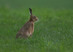 Broon Hare (Martial2010) Tags: brown canon scotland hare angus glen