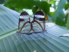 mariposas transparentes (carmen in) Tags: zoo mariposas santander cantabria santillana transparentes