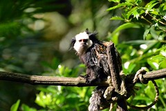 Mambo (jenny' pix) Tags: animals zoo animaux marmoset primates geoffroy ouistiti callithrix geoffroyi callitrichidés