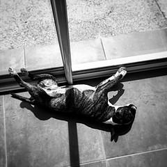 Bronzette en mode Nudiste (batiste.egido) Tags: blackandwhite dog chien sun apple soleil noiretblanc bullterrier iphone photooftheday bronzette dayshot picsday applepics iphone6plus bullterriersminiature