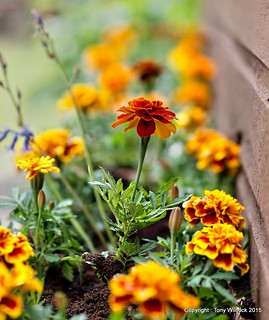 French Marigold perfusion